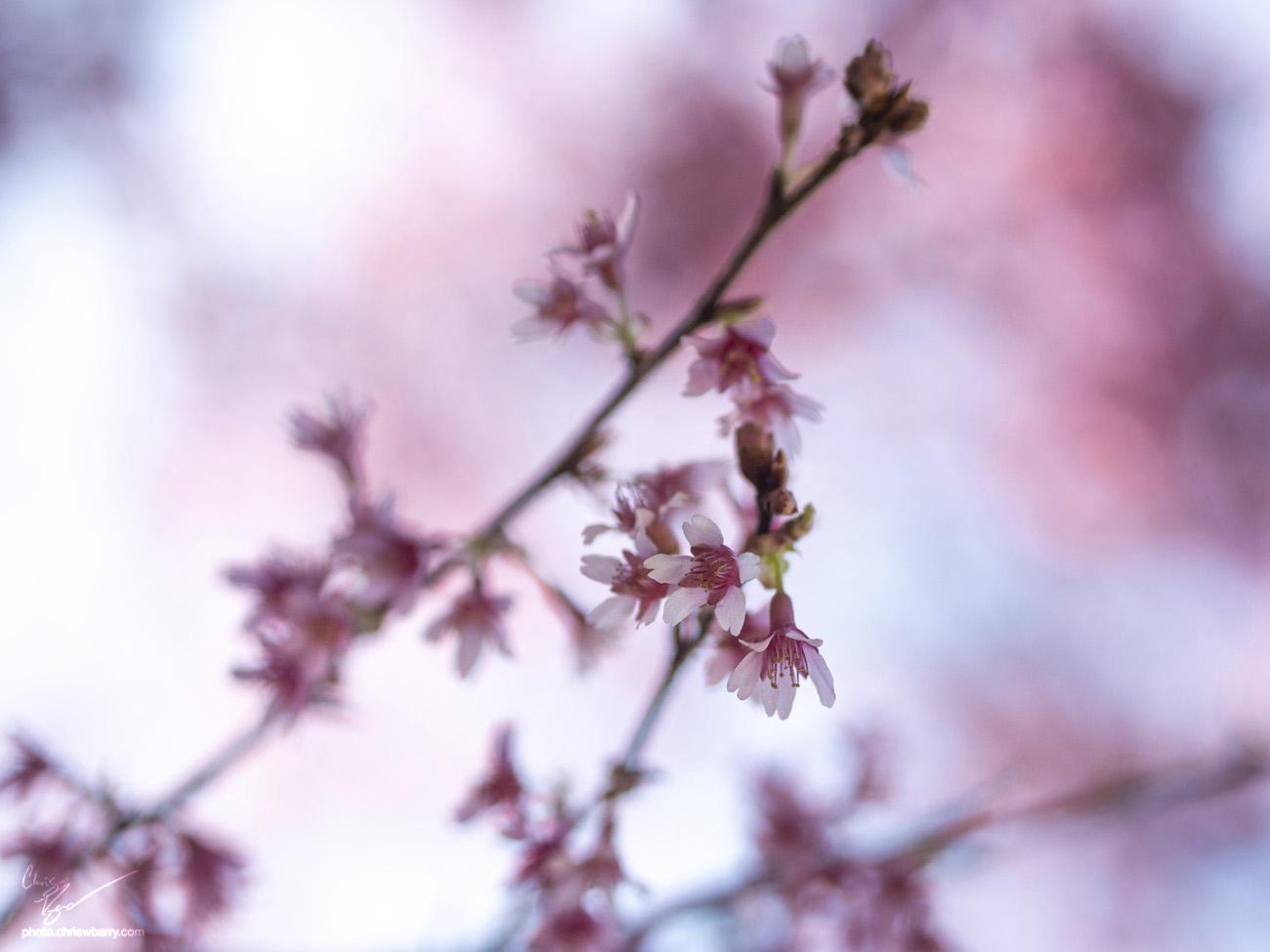4-21-18: Cherry Blossoms?