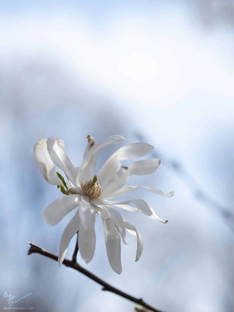 4-21-18: Star Magnolia