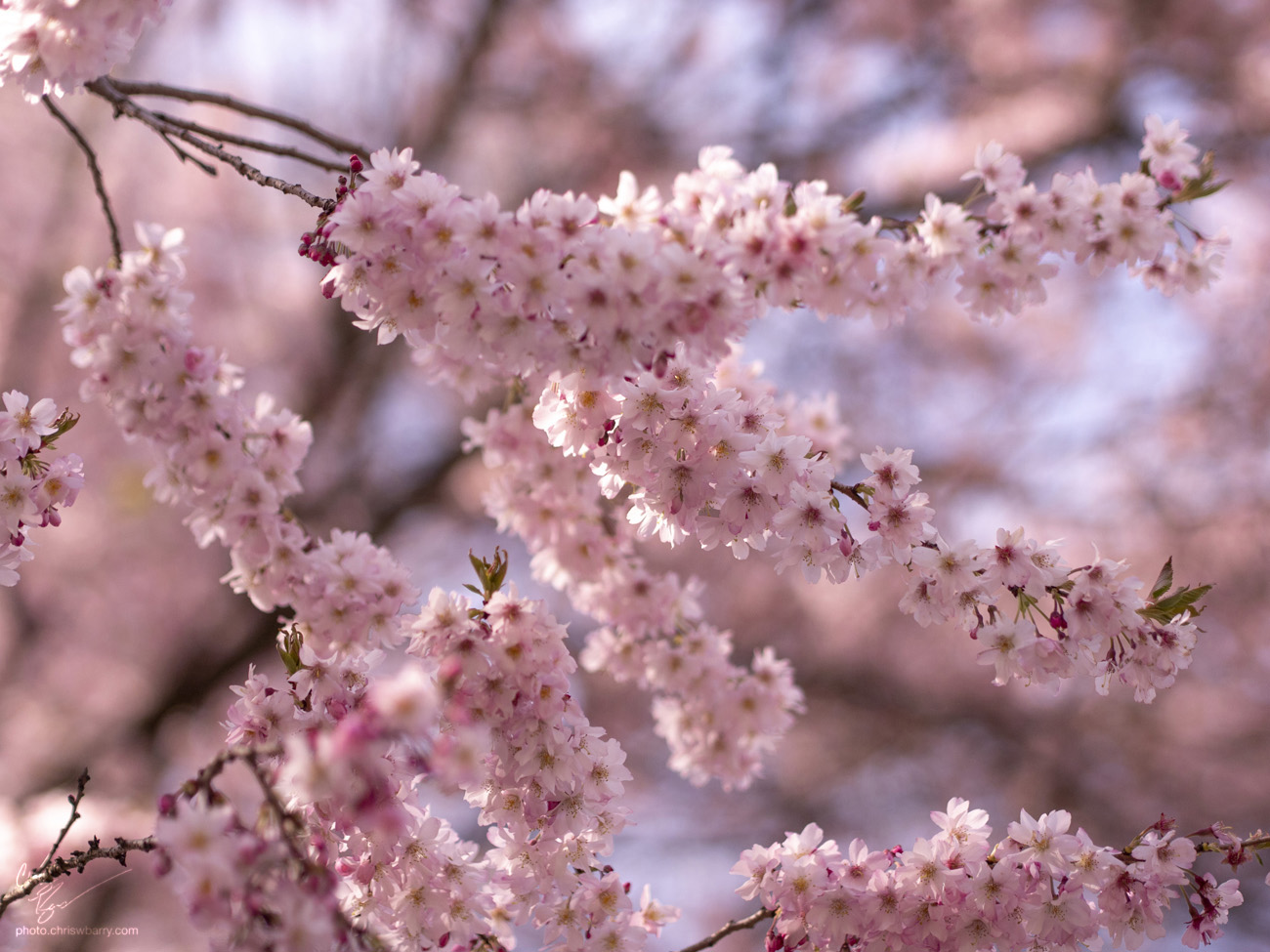 4-21-18: Cherry Blossoms (Probably)