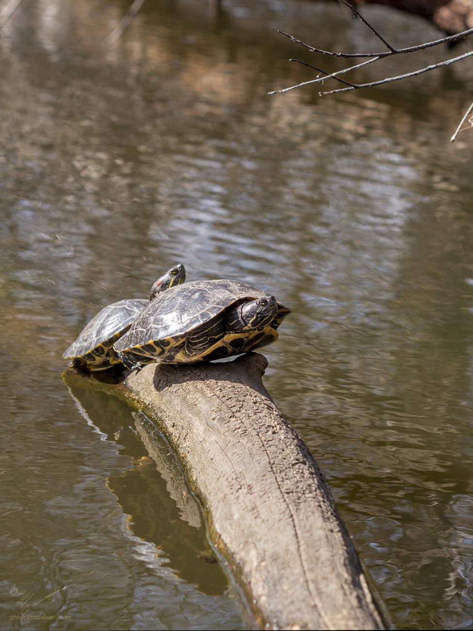 4-21-18: Painted Turtles