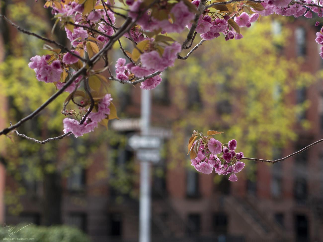 4-29-18: Cherry Blossoms (II)