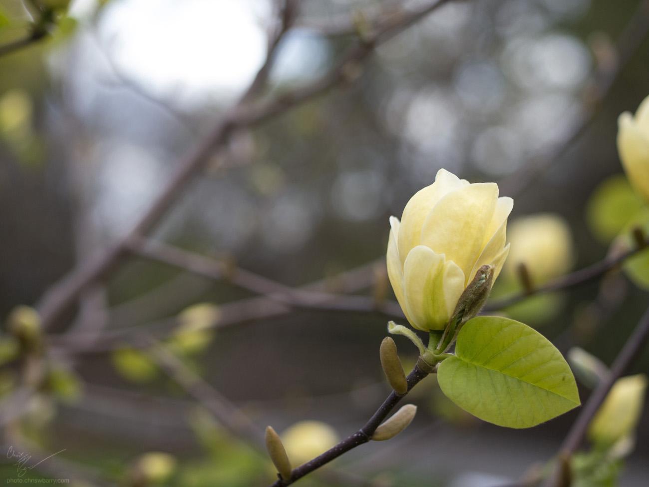 4-29-18: Yellow Bird Magnolia
