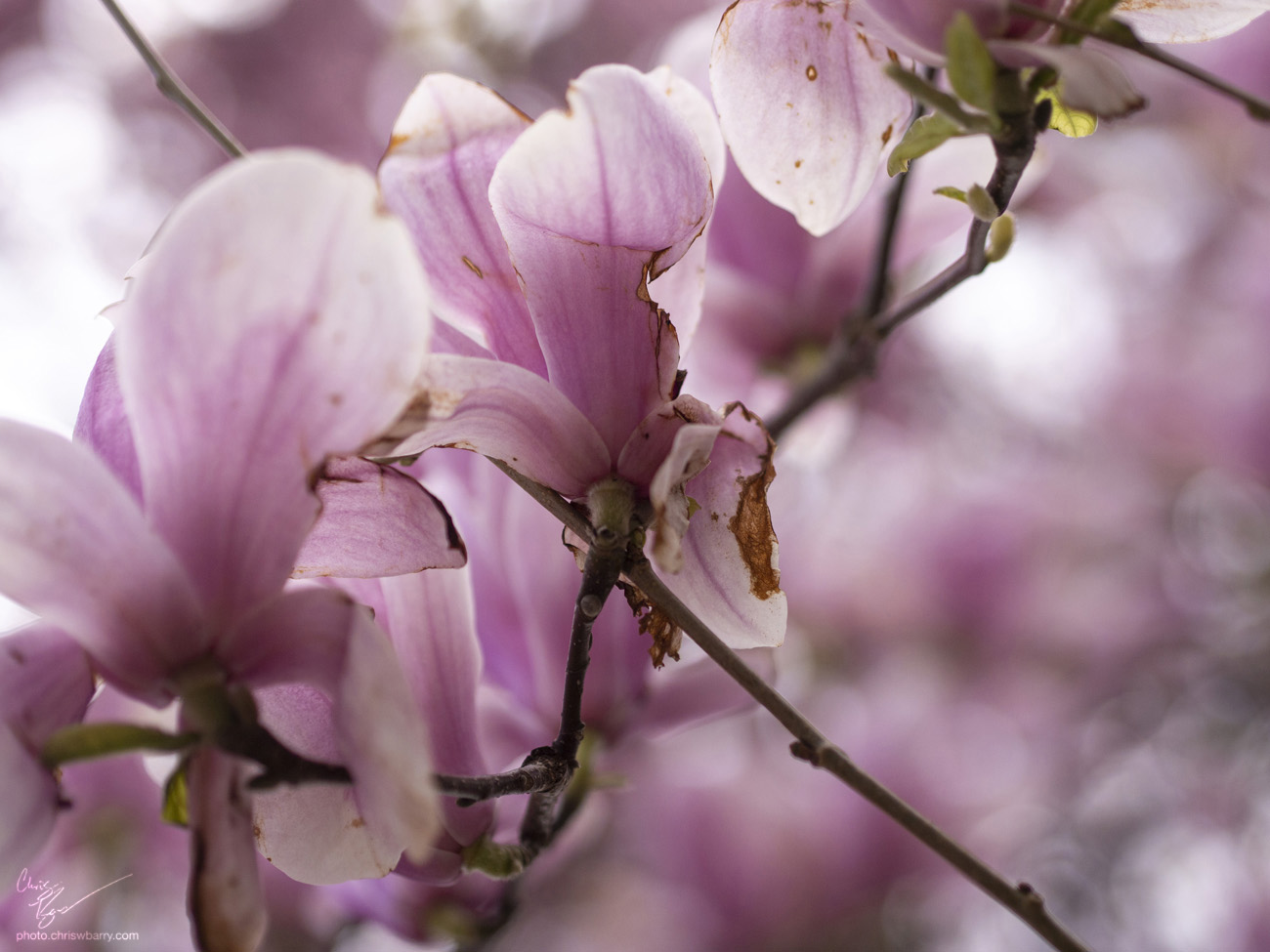 4-29-18: Just a standard pink magnolia