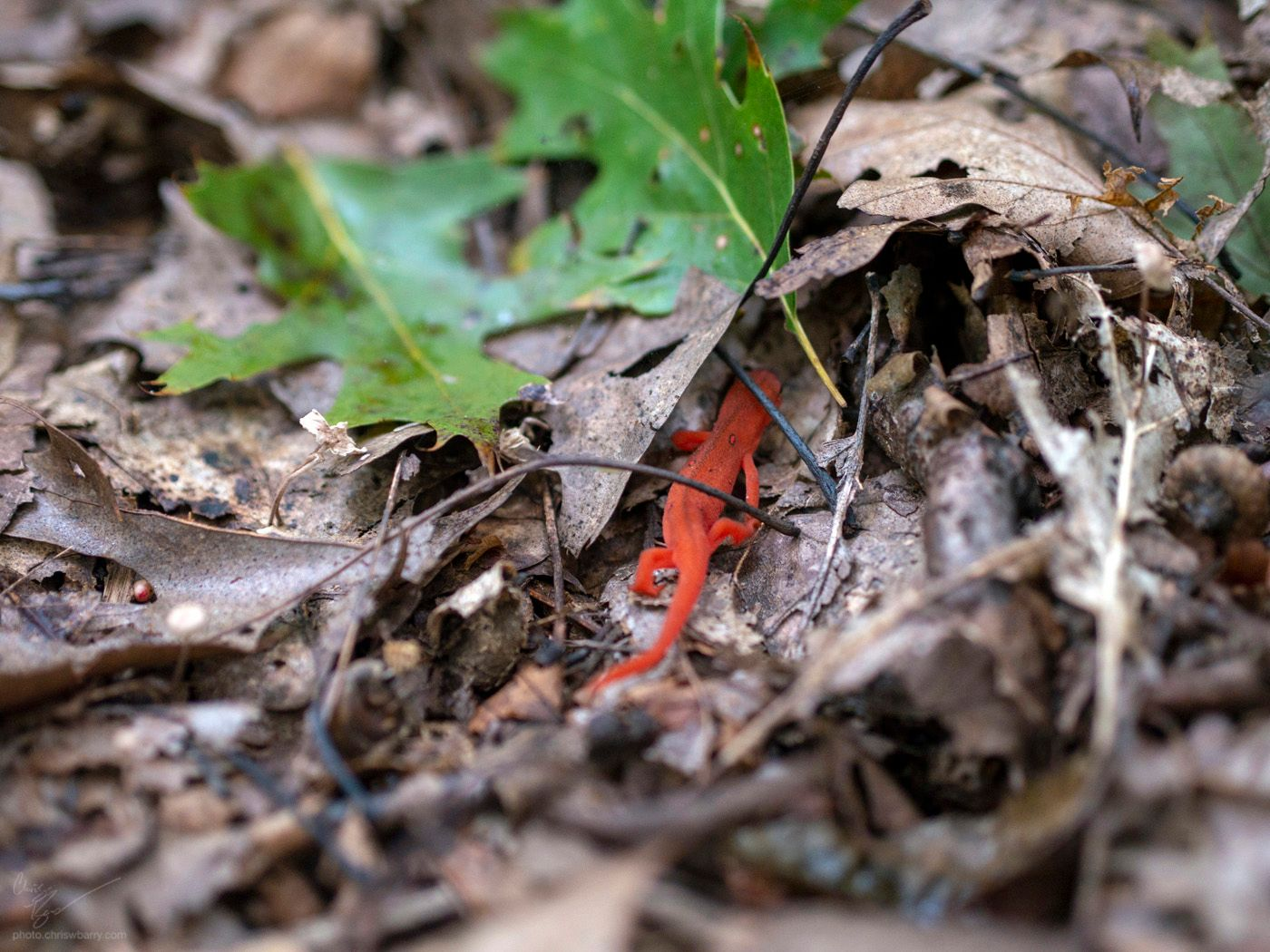 10-06-18: Red Spotted Newt