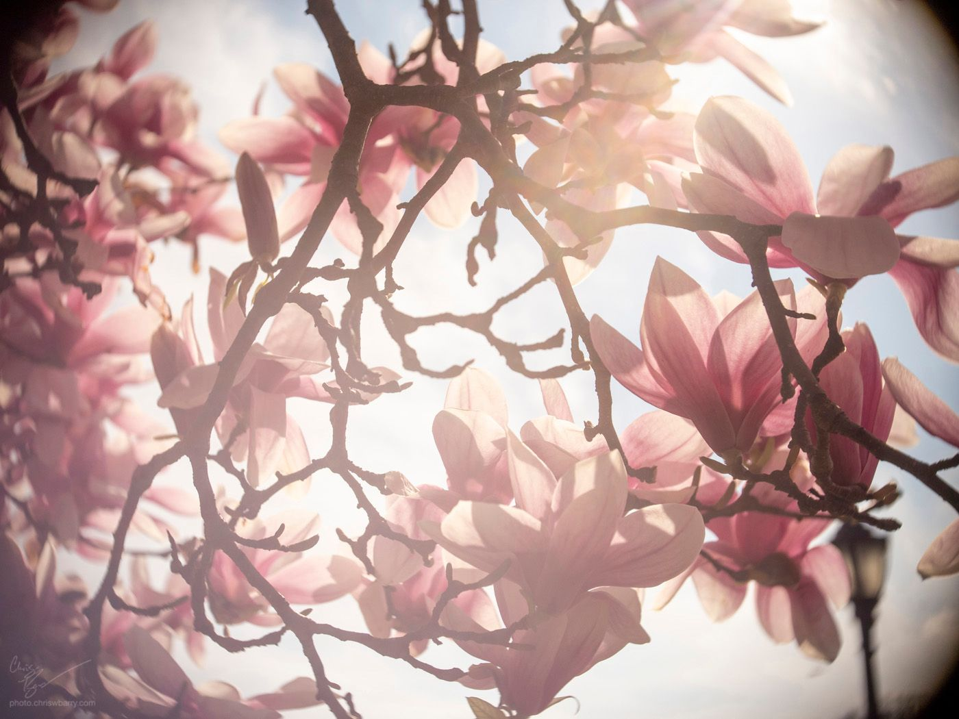 4-13-19: This is just all Magnolias