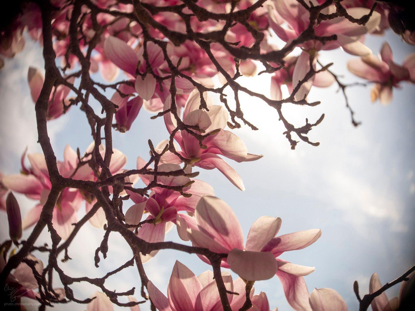 4-13-19: Less Lens Flared Magnolia