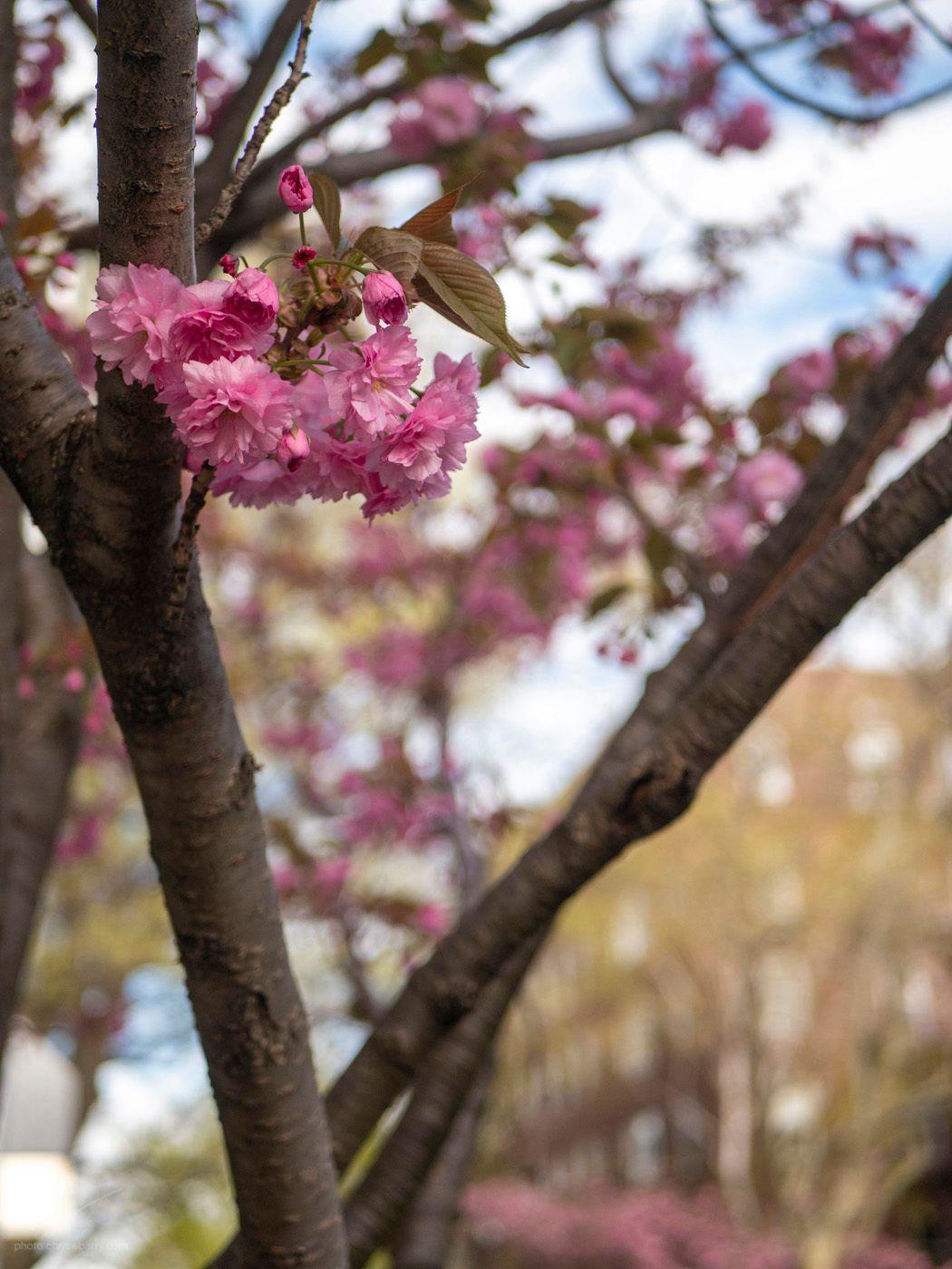 4-22-19: Cherry Blossoms