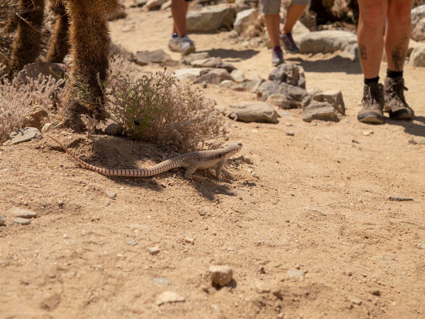 4-28-19: Desert Iguana