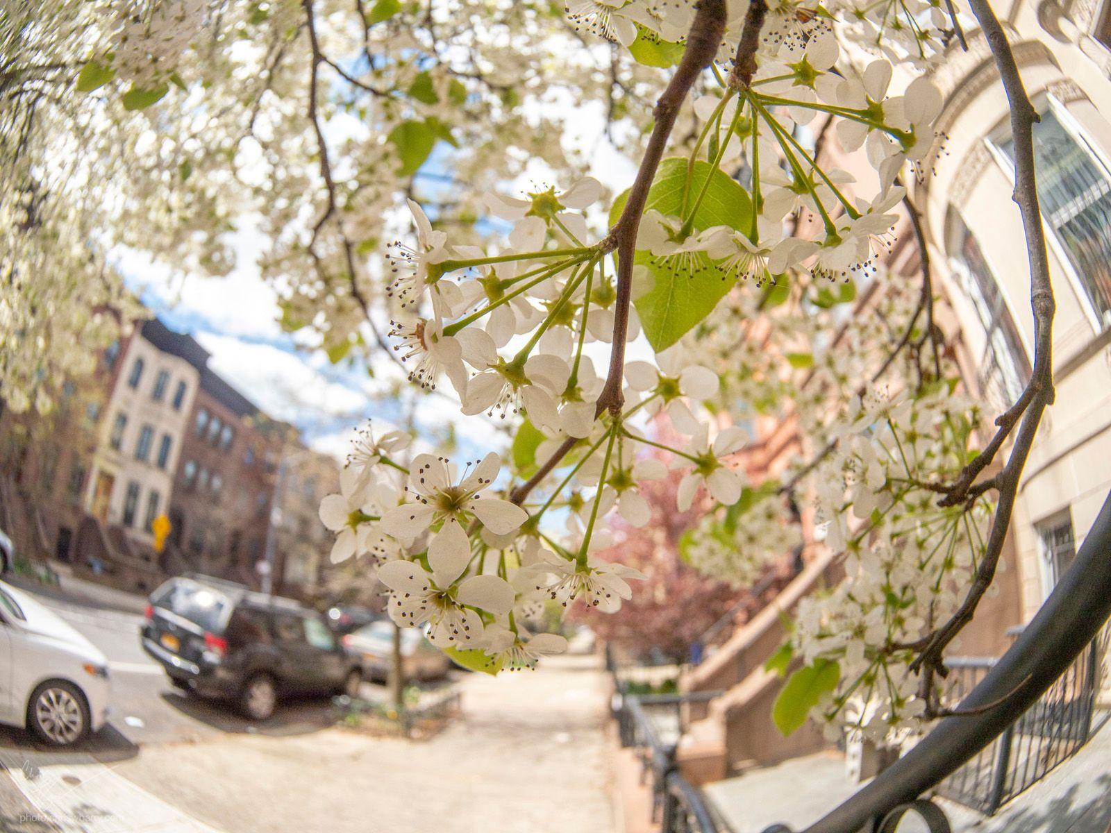 4-4-2020: Apple Blossoms