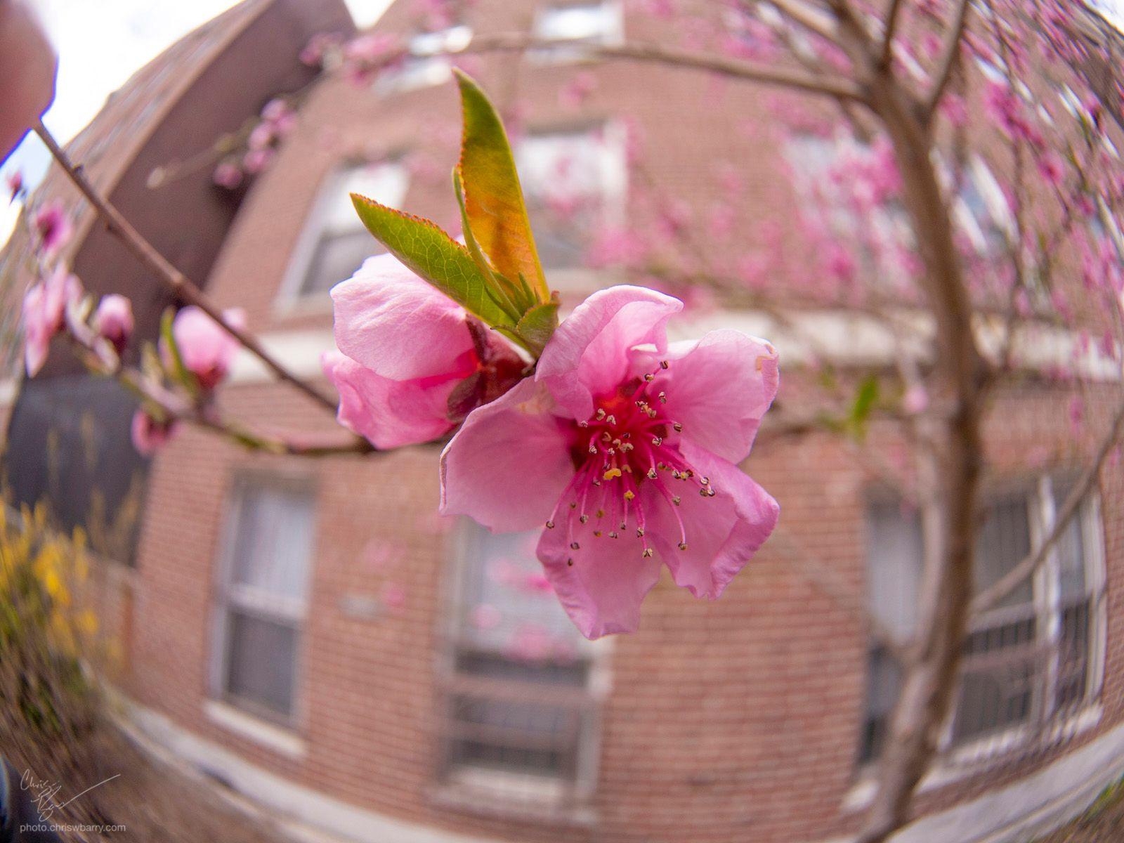 4-4-2020: Cherry blossom