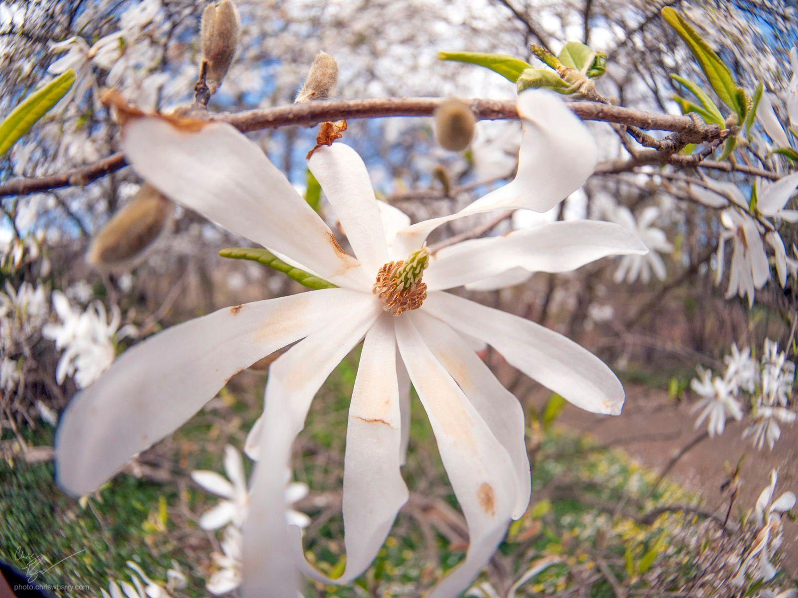 4-4-2020: Star Magnolia