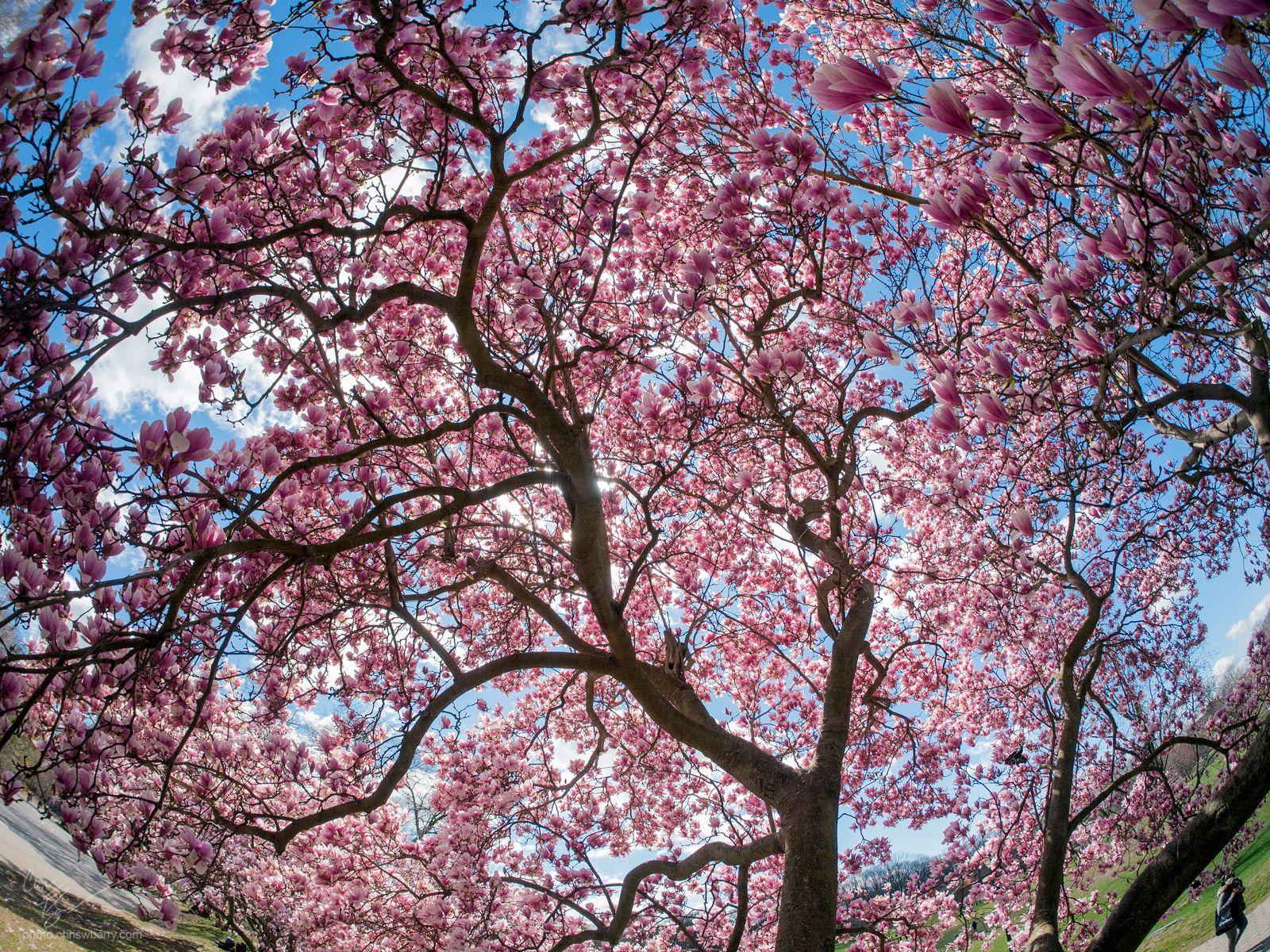 4-4-2020: Magnolia 2