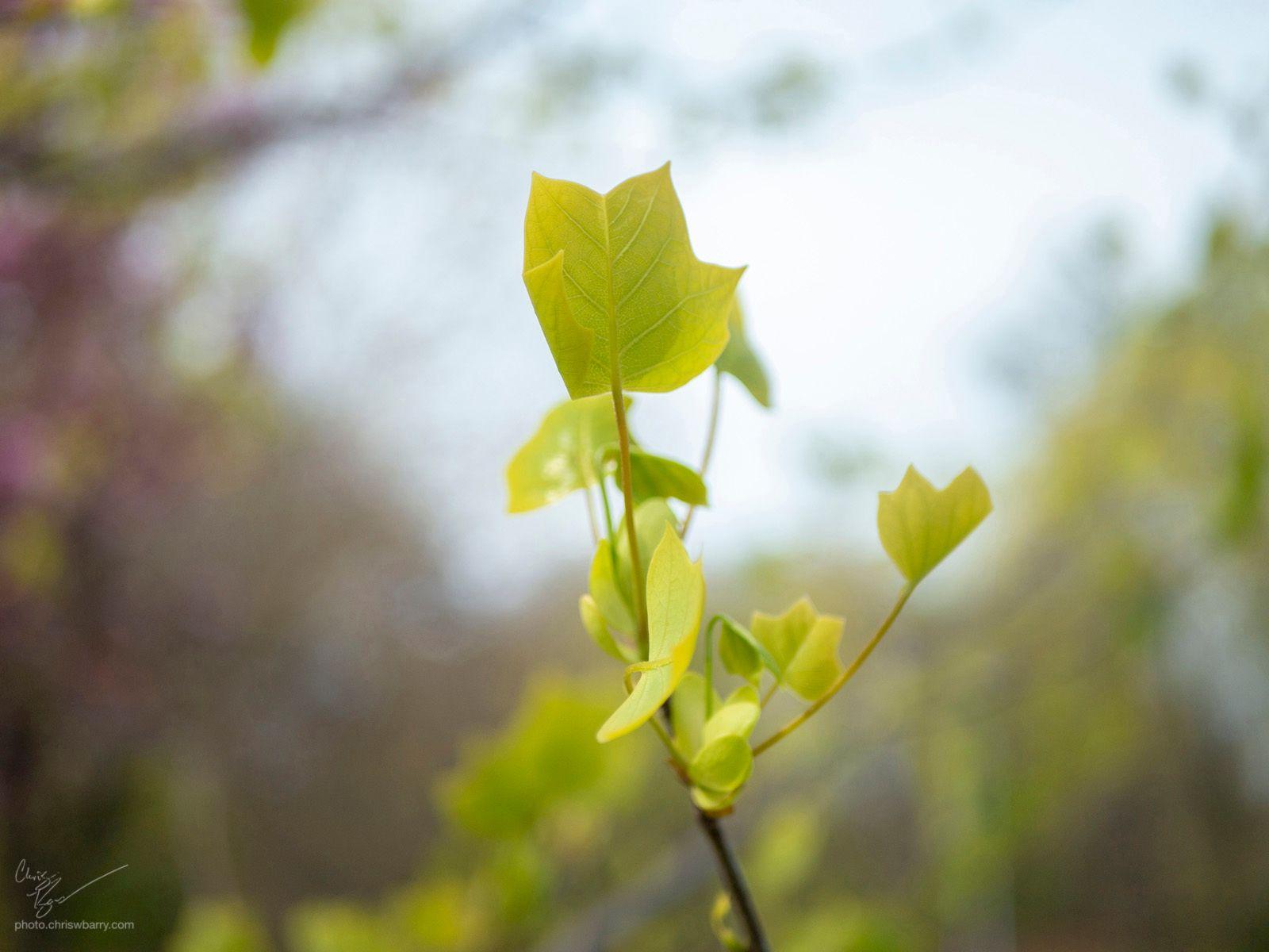 4-19-20: Tulip Tree's new leaves