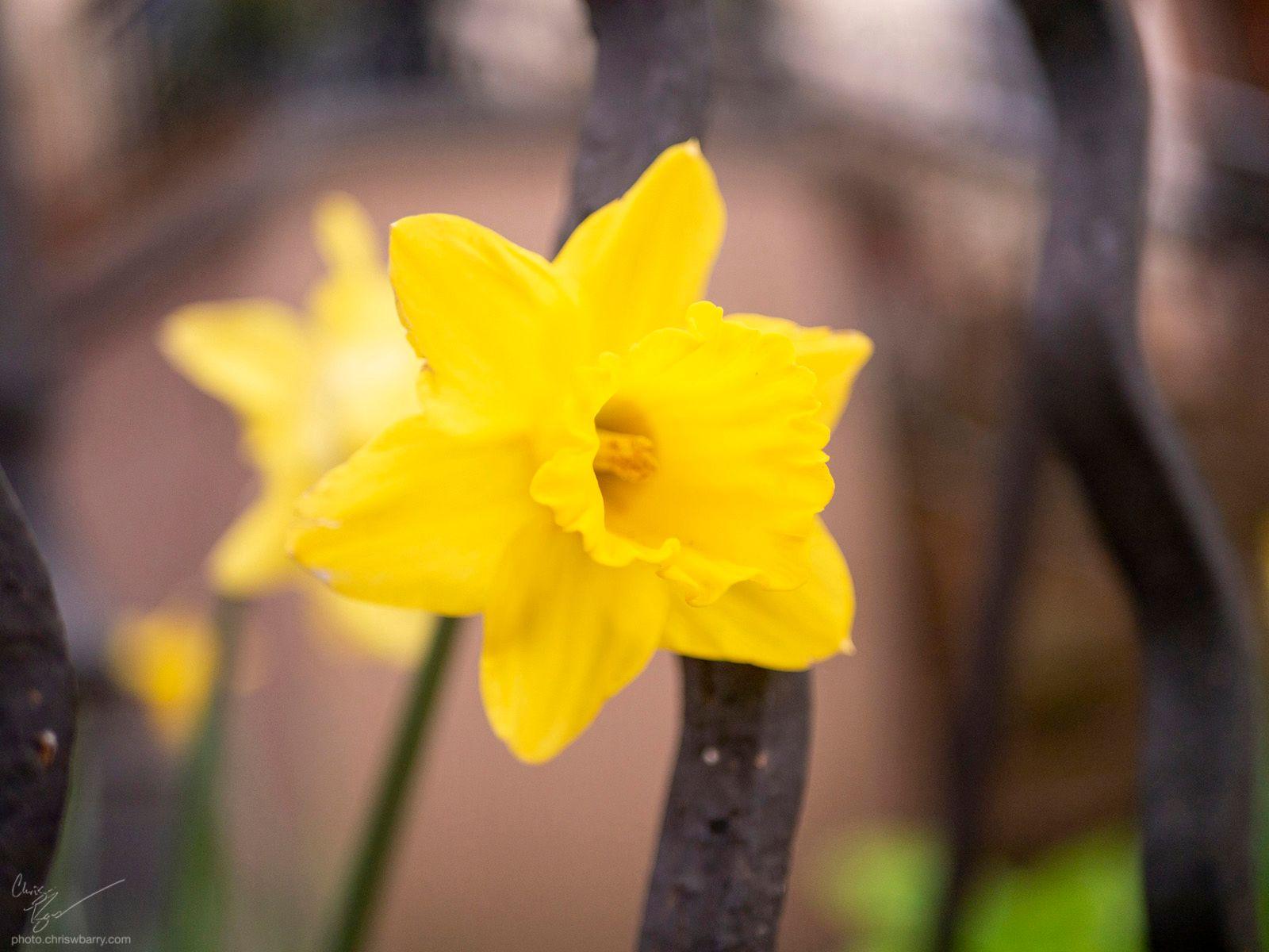 5-3-20: Daffodil