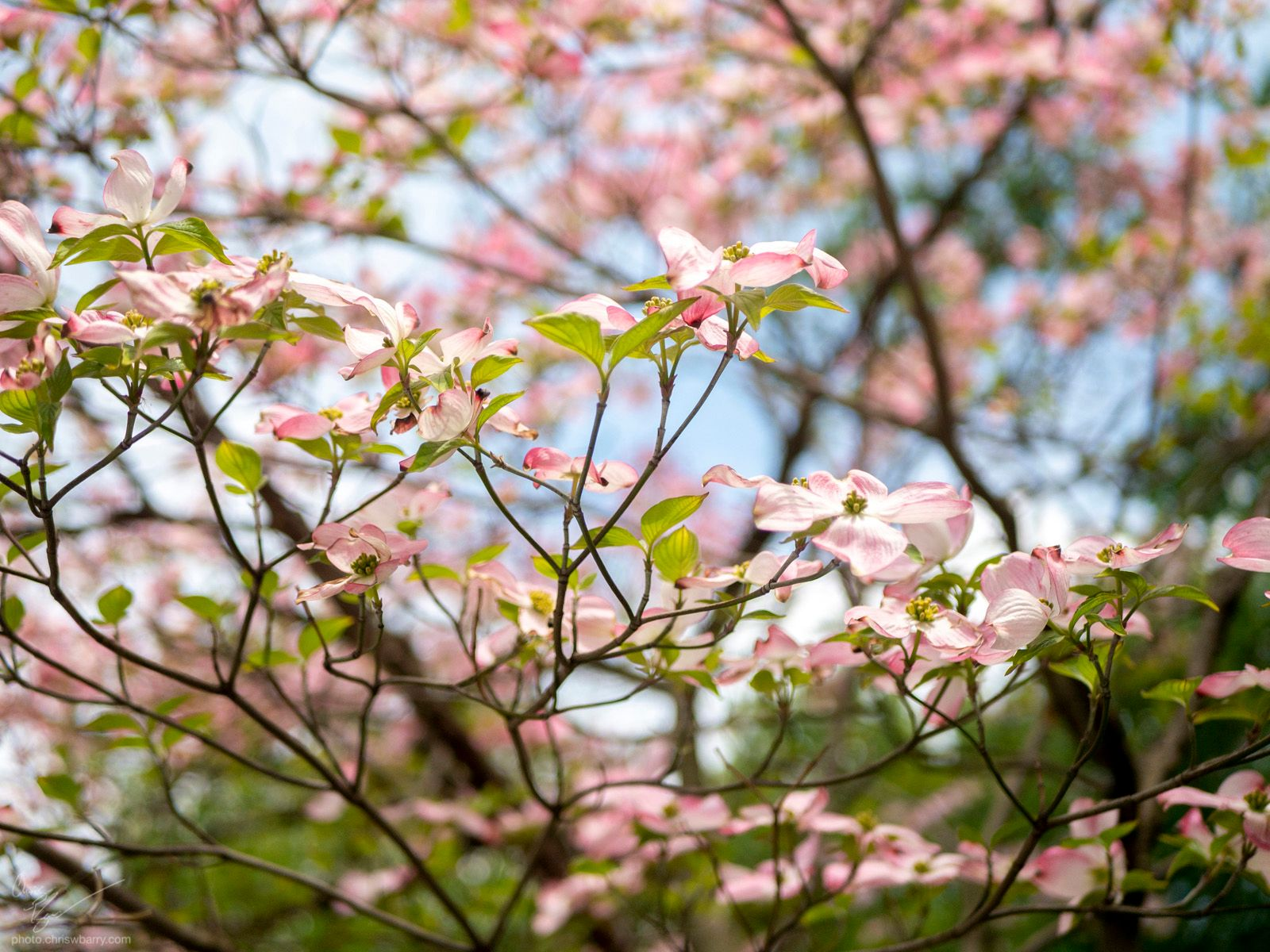 5-3-20: Pink Dogwood