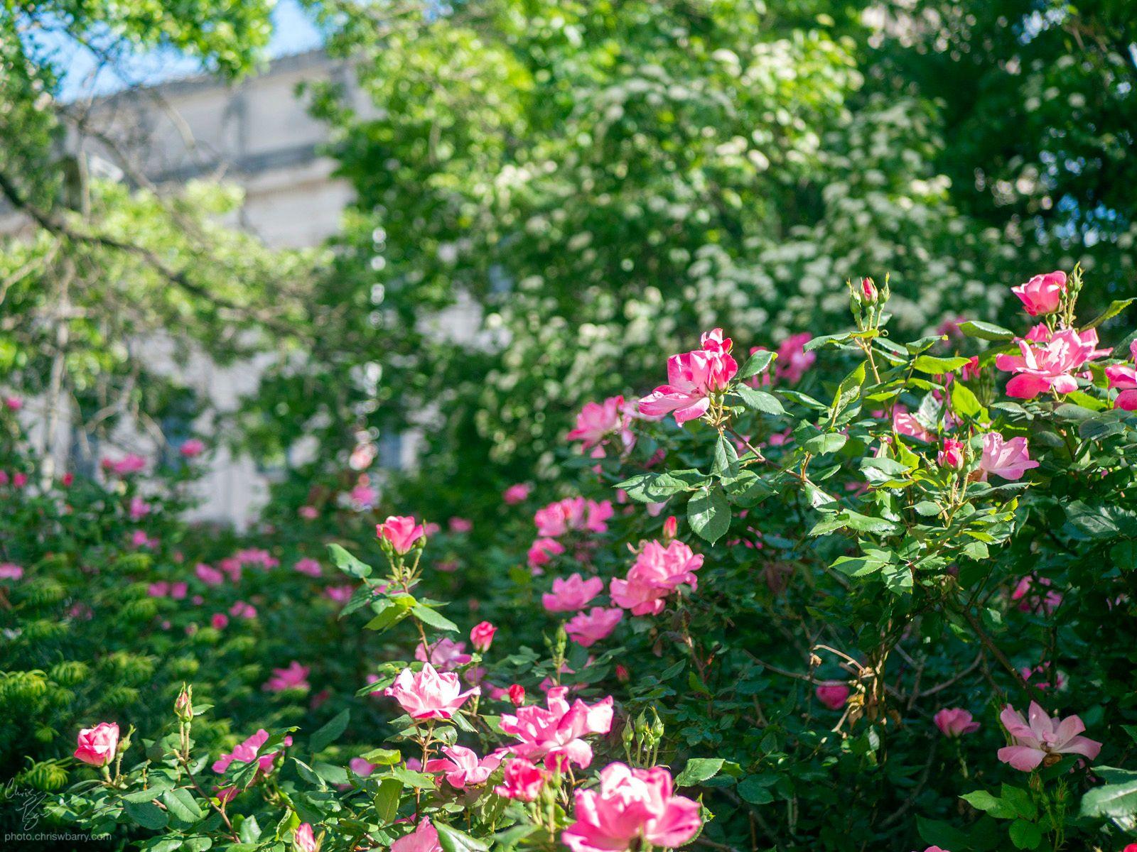 5-3-20: Botanic Garden Roses