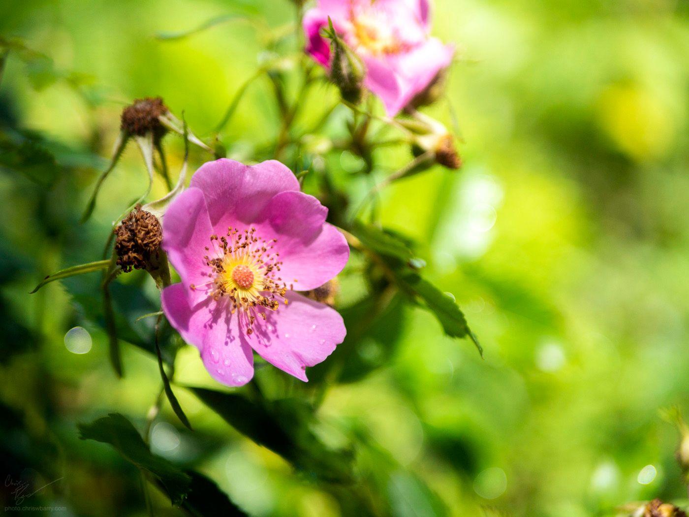 6-30-20: Multiflora Rose