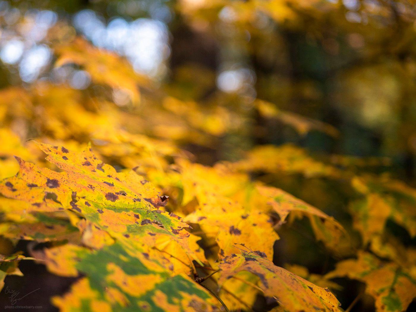 11-04-2020: Autumn Leaves